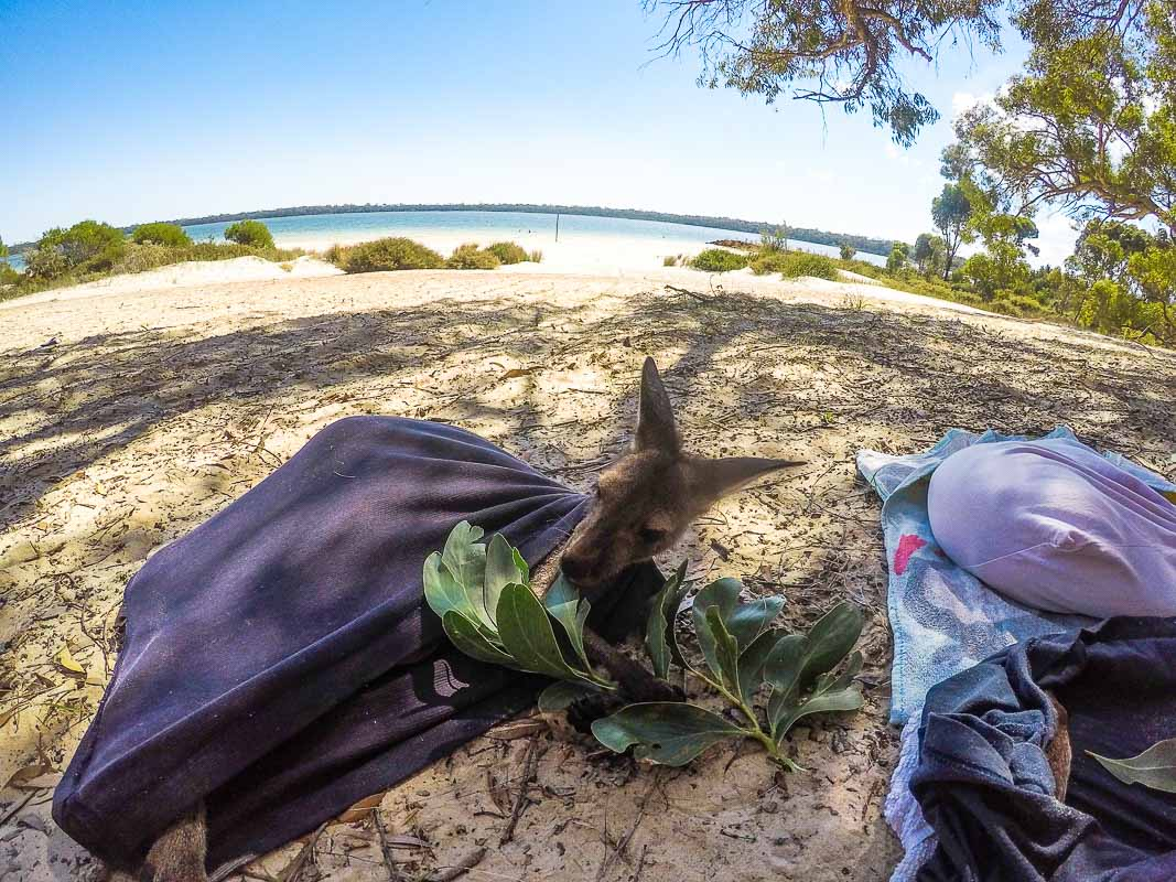 vivre en australie helpx kangourous
