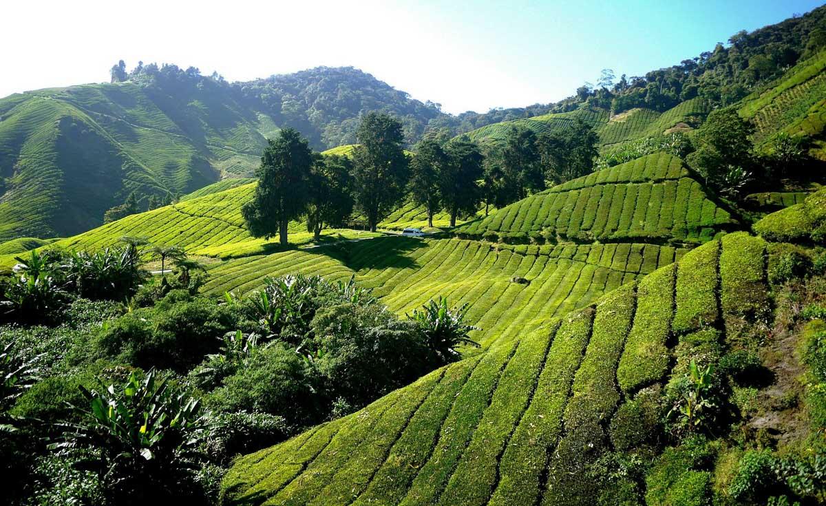 plantation the cameron highlands malaisie