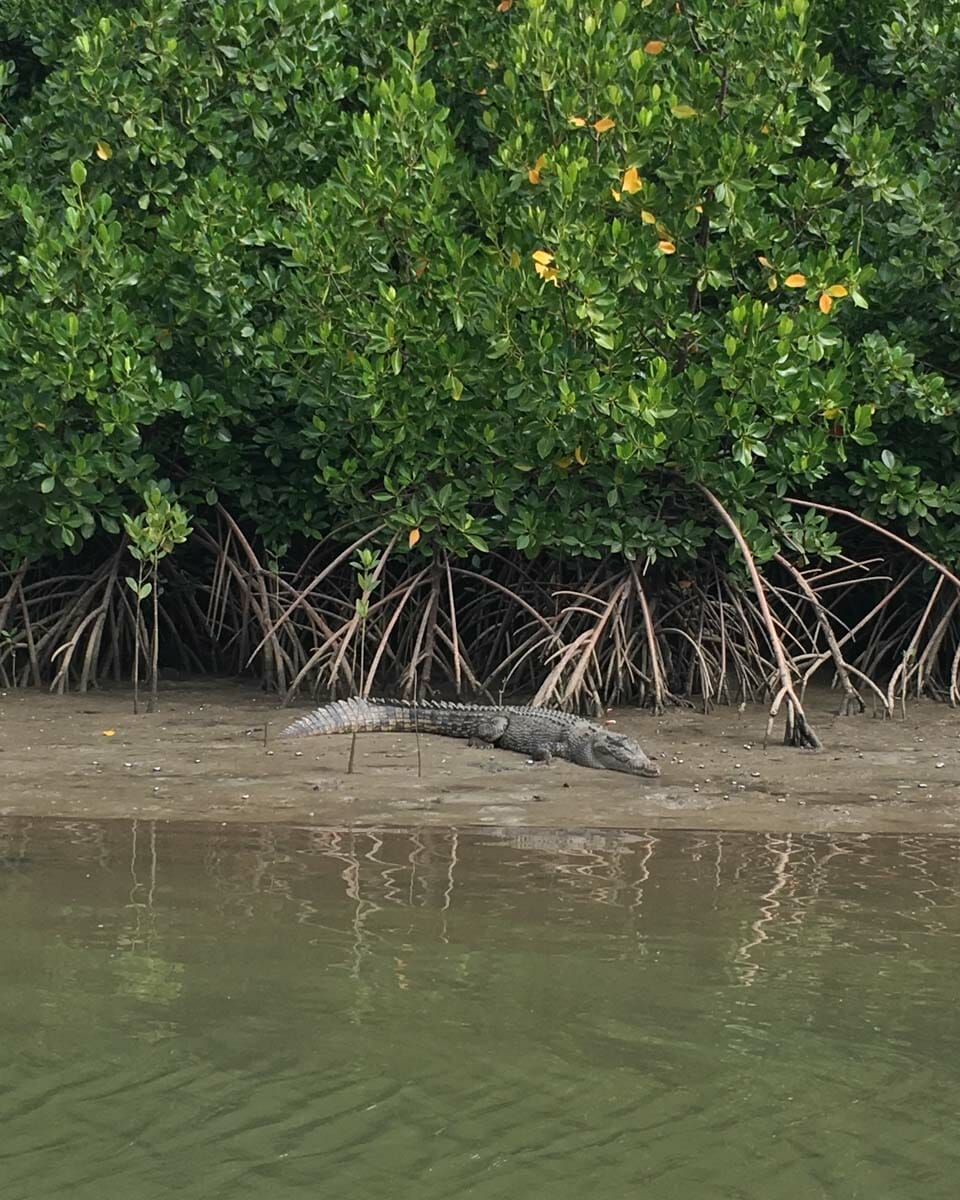 foret daintre nord cairns crocodile