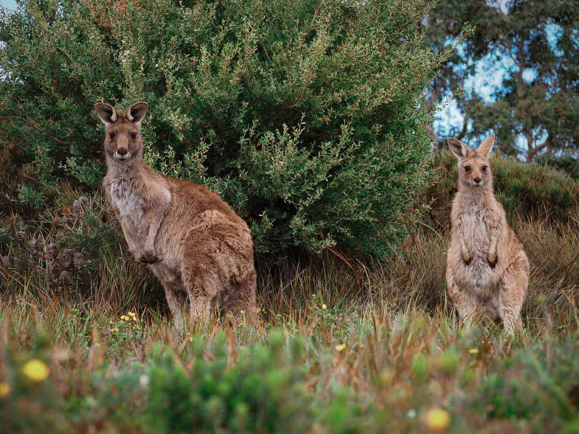 kangourous a wilsons promontory victoria